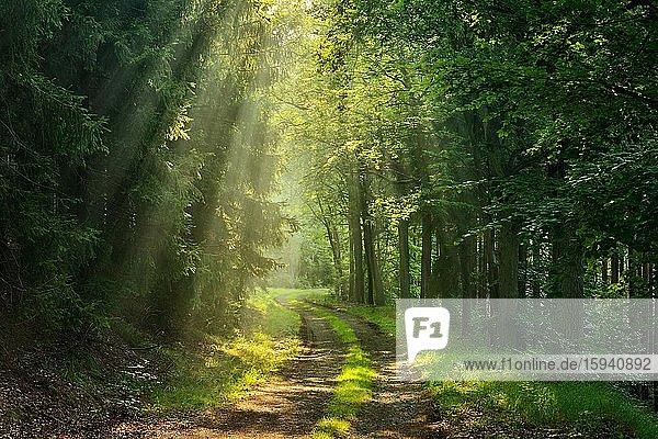 Wanderweg windet sich durch lichtdurchfluteten Wald  Sonne strahlt durch Morgennebel  Thüringer Schiefergebirge  bei Bad Lobenstein  Thüringen  Deutschland  Europa