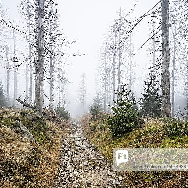 Kaiserweg  hiking trail through misty dead forest  dead due to drought and bark beetle infestation  Harz National Park  Lower Saxony  Germany  Europe Kaiserweg, hiking trail through misty dead forest, dead due to drought and bark beetle infestation, Harz National Park, Lower Saxony, Germany, Europe