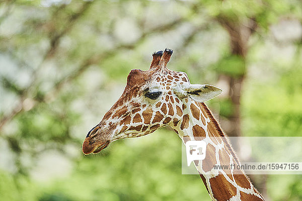 Reticulated giraffe  Giraffa camelopardalis reticulata  Hawaii  USA