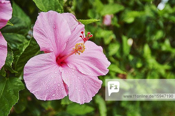 Chinese hibiscus  Hibiscus rosa-sinensis  Oahu  Hawaii  USA