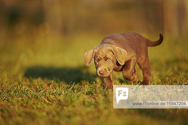 Labrador puppy on a meadow  Germany  Europe