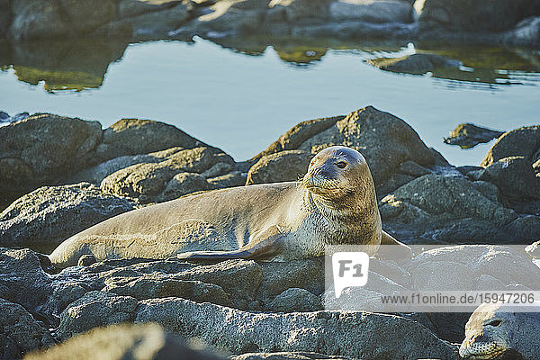 California sea lions  Zalophus californianus  Keawaula Beach  Oahu  Hawaii  USA