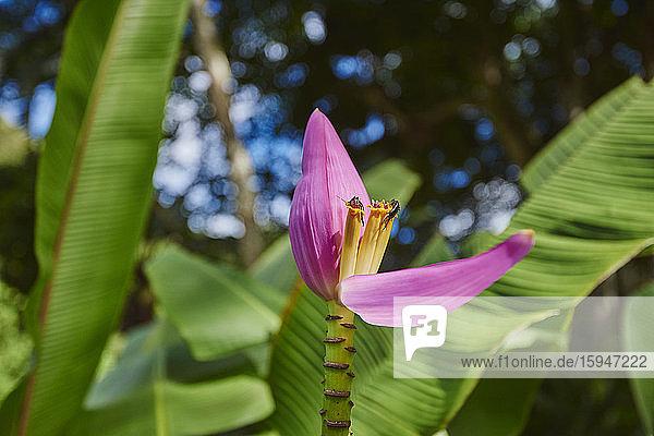 Pink blossom of a banana plant  Musea  Oahu  Hawaii  USA