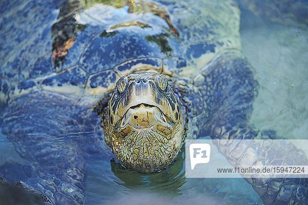 Green sea turtle  Chelonia mydas  Laniakea Beach  Oahu  Hawaii  USA