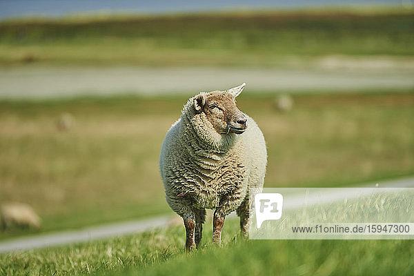 Sheep  Ovis aries  East Frisia  Lower Saxony  Germany  Europe