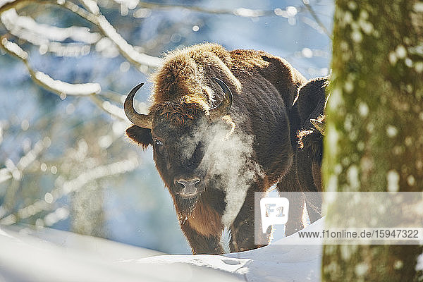 European bison  Bison bonasus  in snow  Bavarian Forest National Park  Bavaria  Germany  Europe
