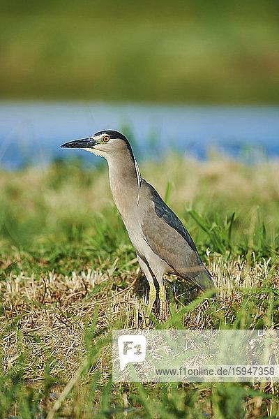 Black-crowned night heron  Nycticorax nycticorax  Oahu  Hawaii  USA
