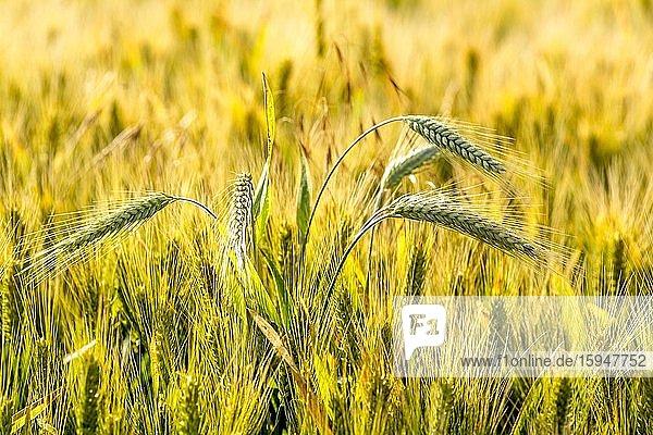 Nahaufnahme einer Weizenähre im Weizenfeld  Limagne  Departement Puy de Dome  Auvergne Rhone Alpes  Frankreich  Europa