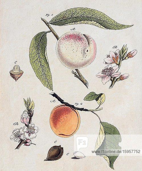 Peach (Prunus persica) and Apricot (Prunus armeniaca)  hand-coloured copperplate engraving from Friedrich Justin Bertuch Bilderbuch für Kinder  1798  Weimar  Germany  Europe
