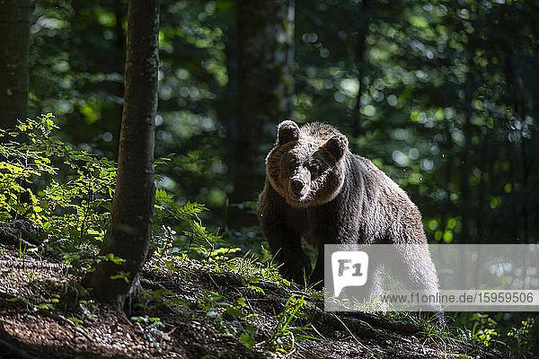 Europäischer Braunbär  Ursus arctos im Wald von Notranjska in Slowenien