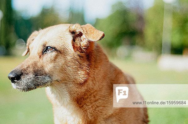 Portrait of senior dog with short golden fur and grey nose.