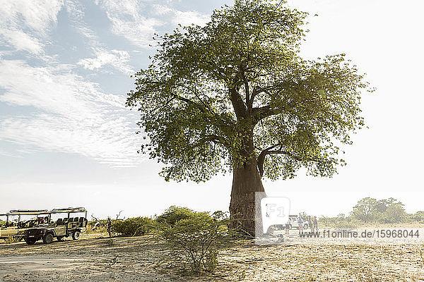 Ein großer Affenbrotbaum  Adansoniai  im Moremi-Reservat  Botswana