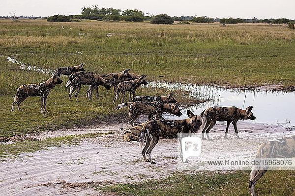 Rudel Wildhunde  Lycaon pictus an einer Wasserstelle in einem Wildreservat.