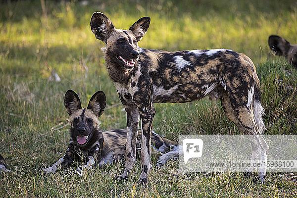 Ein Rudel wilder Hunde  Lycaon pictus