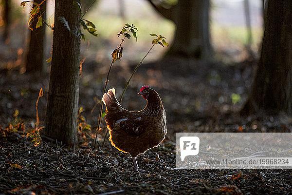 Ein freilaufendes Huhn im Wald im frühen Morgenlicht.