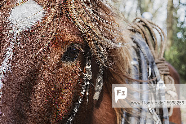 Nahaufnahme eines braunen Arbeitspferdes mit weißem Stern und Streifenzeichnung.