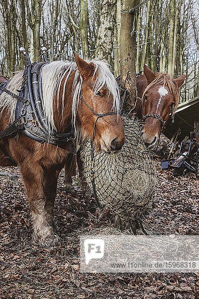Zwei braune Arbeitspferde stehen in einem Wald und fressen Heu.