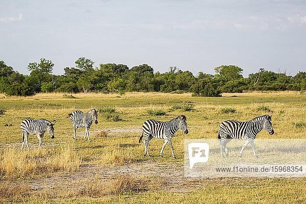 Vier Burchell's Zebras auf trockenem Grasland.