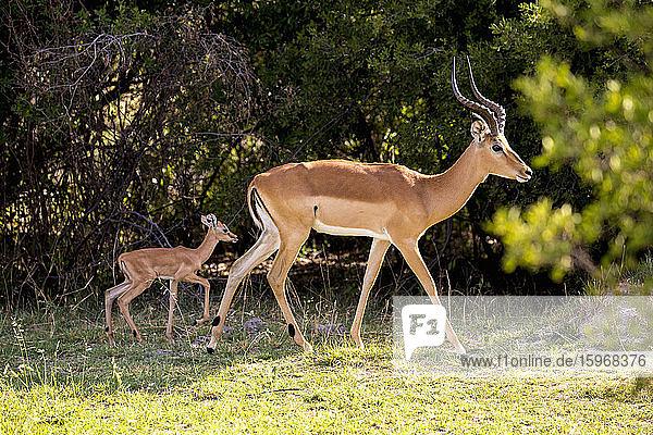Ein Impala und ein junges Kalb  Aepyceros melampus am Rande eines Waldgebietes.