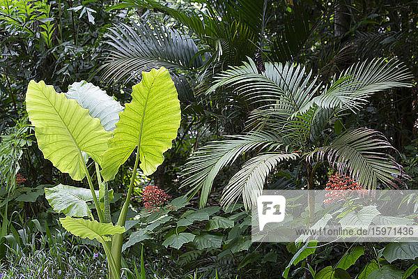 Flora im zehn Millionen Jahre alten Regenwald in Langkawi  Malaysia  Südostasien  Asien