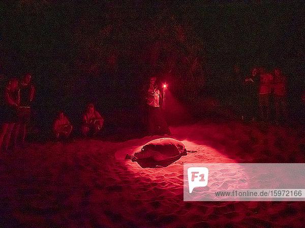 Ausgewachsene weibliche Grüne Meeresschildkröte (Chelonia Mydas)  die nachts an Land kommt  um zu nisten  Rekawa Beach  Sri Lanka  Asien