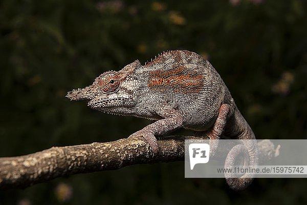 Chameleon (Furcifer minor) Male  Ambositra  Madagascar  Africa