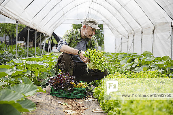 Farmer collecting a box of salad  organic agriculture