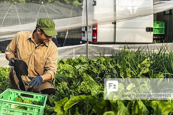 Farmer harvesting organic seasonal salad grown in greenhouse