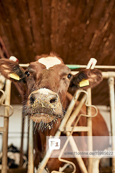Close-up of brown cow looking away while standing in barn Close-up of brown cow looking away while standing in barn