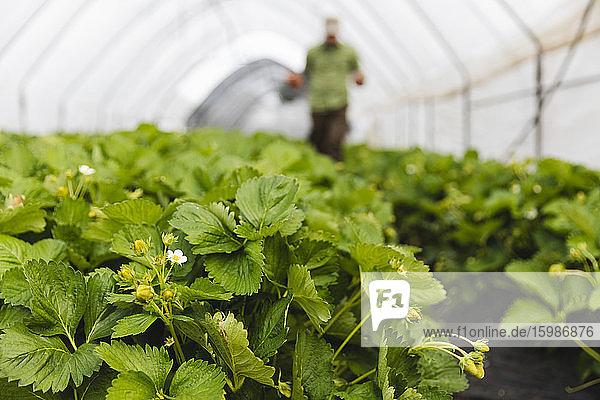 Organic strawberry cultivation