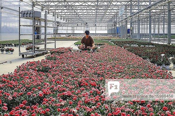 Horticulturist in the nursery prepares potted plants in the greenhouse for sale  Nursery  Kempen  Niederrhein  North Rhine-Westphalia  Germany  Europe
