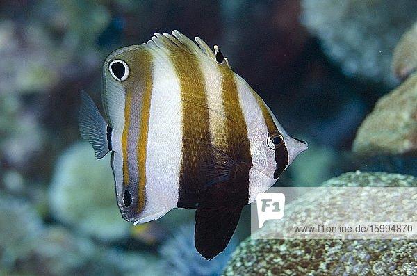 Two-eyed Coralfish (Coradion melanopus)  Pulau Molana dive site  near Ambon  Maluku  Indonesia  Banda Sea.