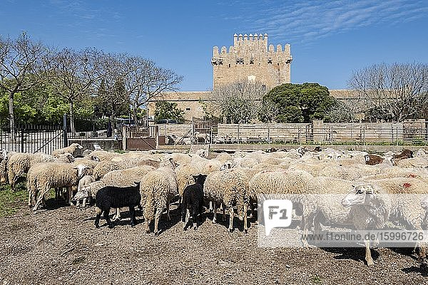 Flock of sheep housed in front of the Canyamel tower  XIII century  Capdepera municipality  Mallorca  Balearic Islands  Spain.