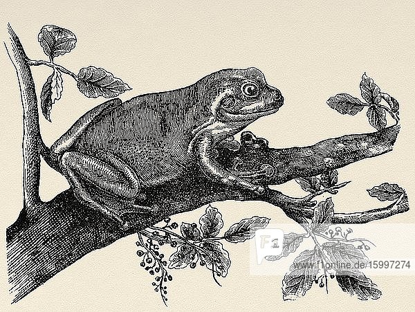 The southern frog (Hyla meridionalis) is a species of anuran amphibian in the family Hylidae. Old engraved animal illustration 19th century.