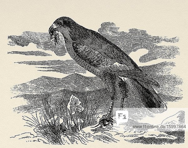 The Somali lizard goshawk (Melierax poliopterus) is a species of Accipitriforme bird  of the Accipitridae family  that lives in East Africa. Old engraved animal illustration 19th century.