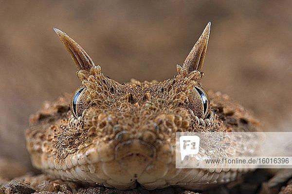 Horned viper (Cerastes cerastes)  animal portrait  Egypt  Africa