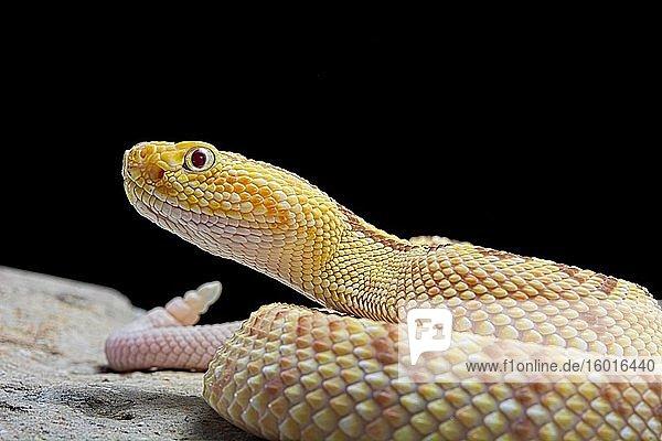 Hypomelanistic Northwestern neotropical rattlesnake (Crotalus culminatus)  animal portrait  captive  Mexico  Central America