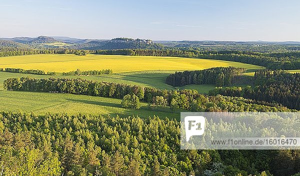 View from Rauenstein over blooming rape fields to the fortress Königstein and Pfaffenstein  Elbe Sandstone Mountains National Park Saxon Switzerland  Saxony  Germany  Europe
