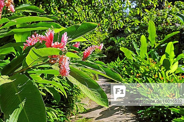 Blossoms in the Botanical Garden with tropical vegetation  Soufriere  St. Lucia  Lesser Antilles  West Indies  Caribbean Islands