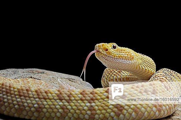 Hypomelanistic Northwestern neotropical rattlesnake (Crotalus culminatus)  captive  Mexico  Central America