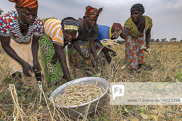 Bohnenpflücken in der Provinz Savanes  Nordtogo