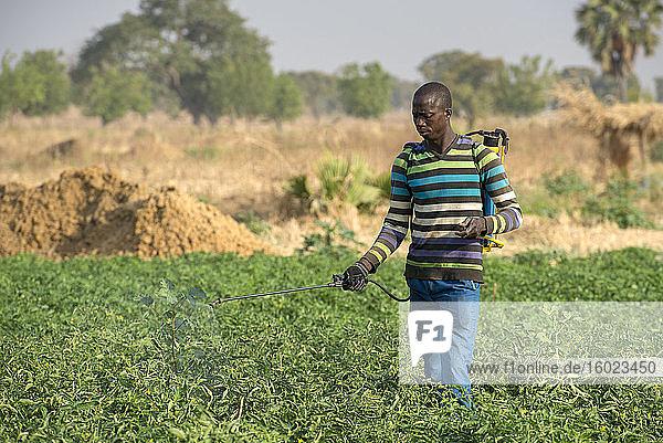 Besprühen von Gemüsefeldern in der Provinz Savanes  Nord-Togo