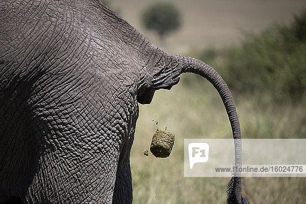 Afrikanischer Elefant (loxodonta africana) in der Savanne