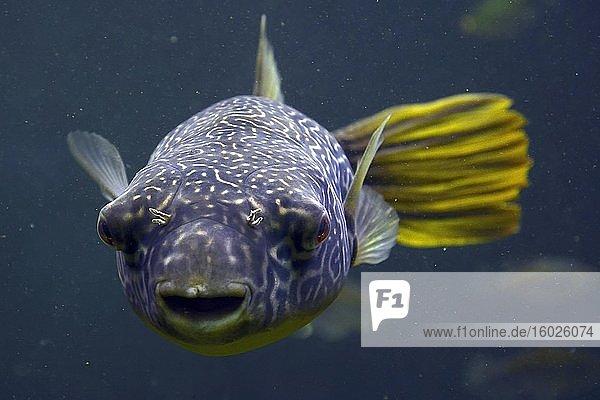 Goldringel-Kugelfisch (Tetraodon mbu)  captive