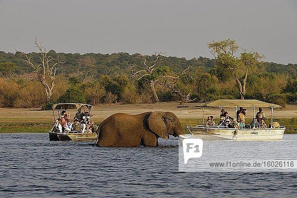 Elefant (Loxodonta africana)  watet durch den Chobe River vor zwei Booten mit Touristen  Chobe Nationalpark  Botswana  Afrika