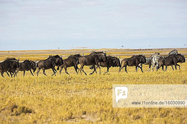 Eine Gnuherde in der Kalahari-Wüste