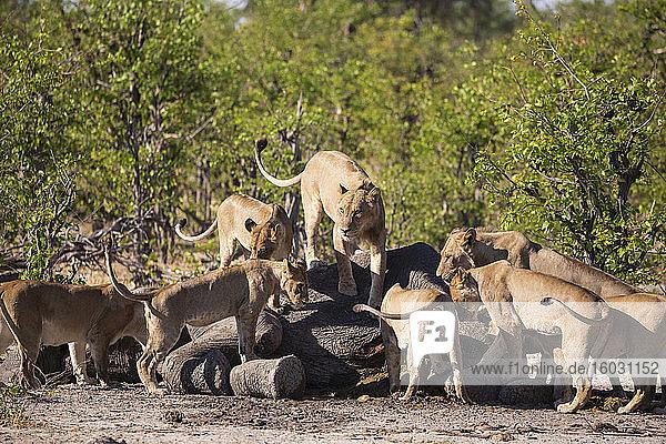 Weibliche Löwen  die sich von einem toten Elefantenkadaver ernähren.