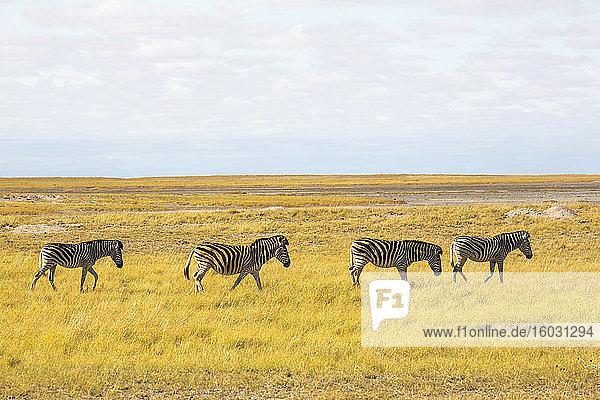 Burchells Zebra  Kalahari-Wüste