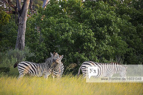 Eine Gruppe von Zebras im langen Gras bei Sonnenuntergang