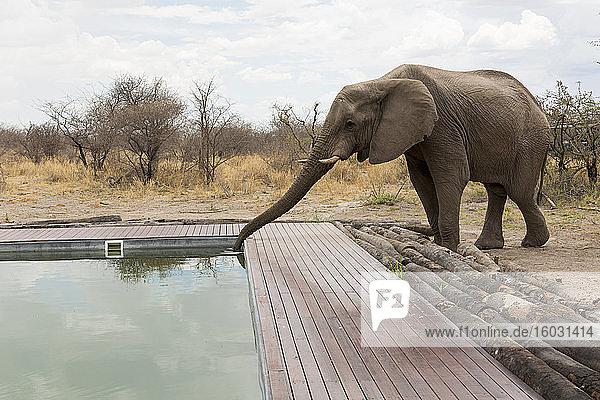 Ein Elefant  der mit seinem Rüssel aus dem Swimmingpool eines Wildreservats-Camps trinkt.
